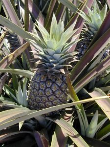 Symbolism of Shuttercuts: The Pineapple as an Icon